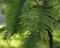 Detalle del pino Wollemi adquirido por la UDIMA (Fotografía: Ana Rodrigo)